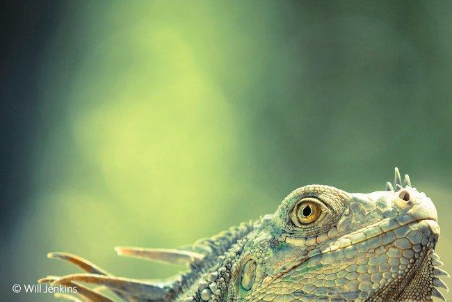 Một con thằn lằn xanh xuất hiện khi Will Jenkins đang nghỉ ngơ/ thư giãn cùng gia đình ở Costa Rica. Jenkins đã nhanh chóng chụp lại bức ảnh này