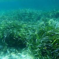 Bạn có biết: 100 nhà khoa học, 28 quốc gia đang kêu gọi bảo vệ cỏ biển