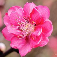 Cách chọn hoa đào và giữ hoa đào tươi lâu