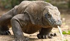 Rồng sát thủ Komodo quật chết trâu rừng khổng lồ bằng một cúp đớp