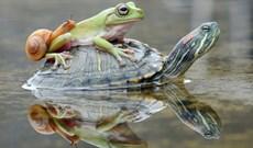 Rùa tốt bụng cõng cả ếch lẫn ốc sên qua con lạch nhỏ