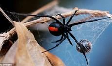 Nếu bị nhện góa phụ đen, loài nhện độc nhất thế giới cắn cơ thể bạn sẽ bị hủy hoại như thế nào?