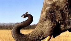 Loài vật bé nhỏ khiến voi khổng lồ phải khiếp sợ tháo chạy