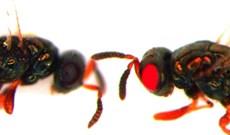 Khoa học tạo ra con ong đột biến mắt đỏ gây sốc