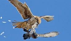 """Cú phi thân tóm gọn con mồi """"chớp nhoáng"""" của loài chim bay nhanh nhất thế giới"""