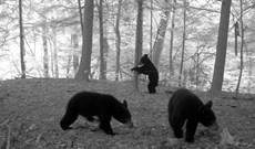 Chuyện khó ngờ: Gấu đen đang đổ bộ về phía bắc New York, nguyên nhân không phải do con người