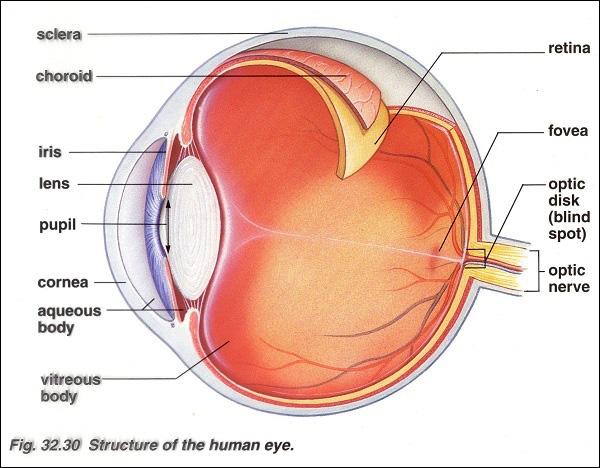 Cấu tạo giải phẫu học mắt người.