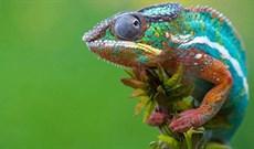 Ba loài tắc kè mới được phát hiện ở Trung Phi