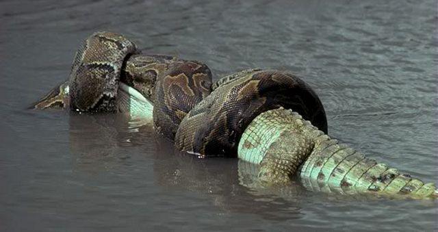 Cá sấu là thức ăn khoái khẩu của loài trăn khổng lồ này