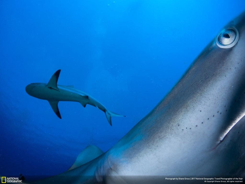 The shark in its natural habitat