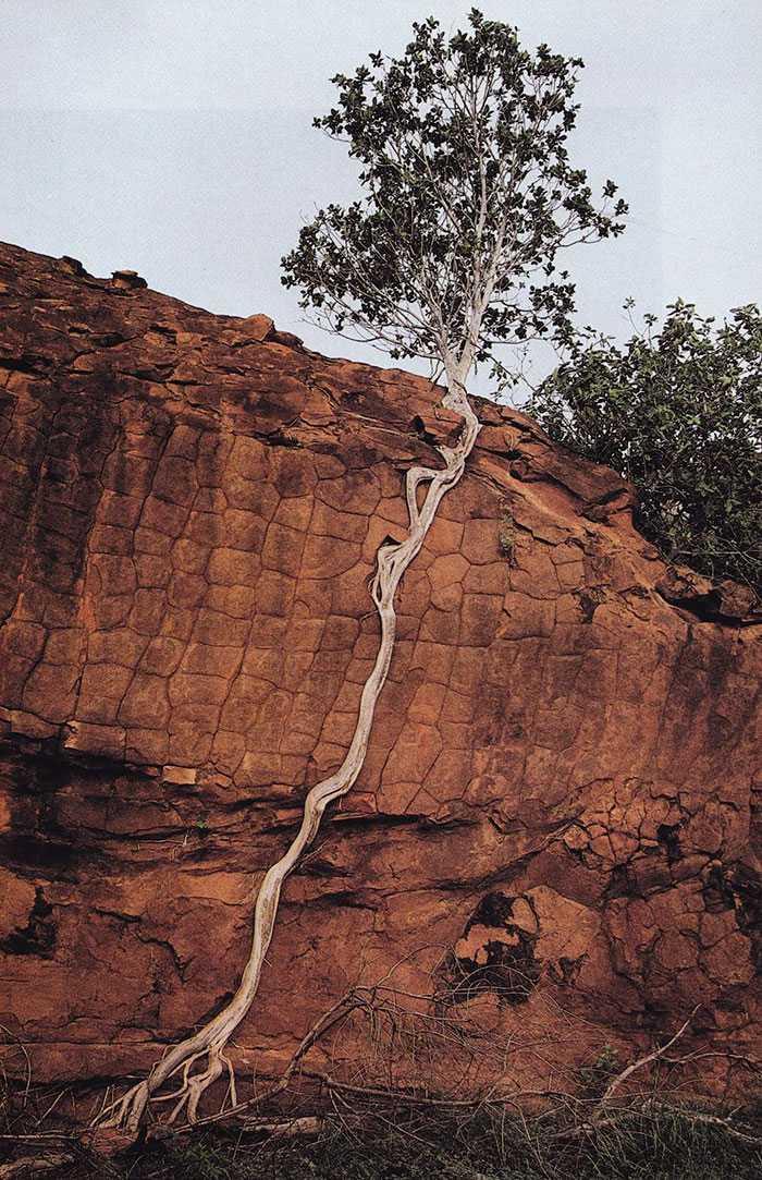Bị cô lập, cây xanh này bèn thò rễ sang chỗ khác để tự giữ lấy mạng sống của mình