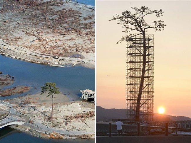 Từ một thân gỗ chết mục đã mọc ra tới 4 cây xanh trưởng thành