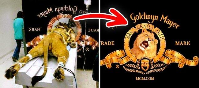 "The logo ""pink lion"" Metro-Goldwyn-Mayer"