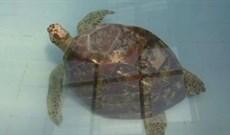 Nuốt gần 1.000 đồng xu, rùa Thái Lan chết vì nhiễm trùng máu