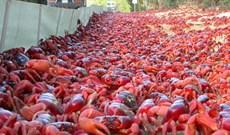 """Hàng triệu con cua """"nhuộm"""" đỏ hòn đảo Australia"""