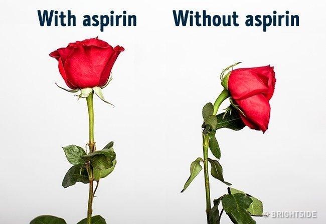 Hoa hồng sẽ tươi lâu hơn nếu bỏ một nửa viên aspirin vào nước.