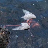 Bạch tuộc tóm sống và dìm chết chim mòng biển trong nháy mắt