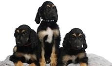 Các nhà khoa học tái nhân bản thành công chú chó nhân bản vô tính đầu tiên trên thế giới