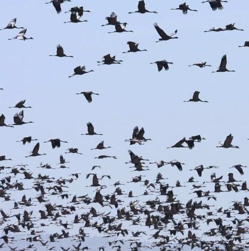 """Hàng trăm con chim """"tự sát"""" tập thể"""