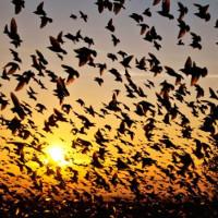 """Bí ẩn ngôi làng hàng ngàn con chim tìm về """"tự sát"""" mỗi năm"""
