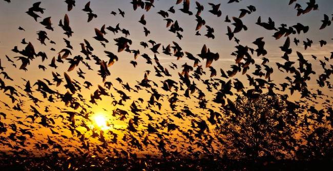 """Hiện tượng bí ẩn chim """"tự sát"""" tập thể"""