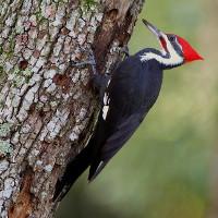 Lý do chim gõ kiến mổ liên tục vào thân cây 17 lần/giây nhưng không bị đau đầu