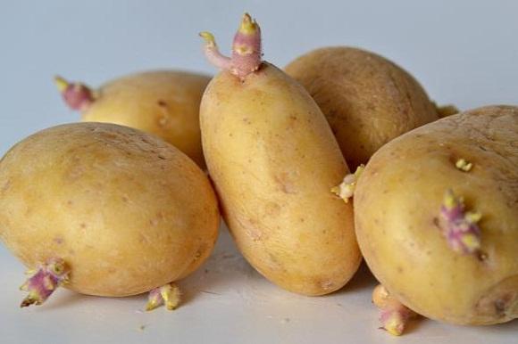 Khoai tây mọc mầm.