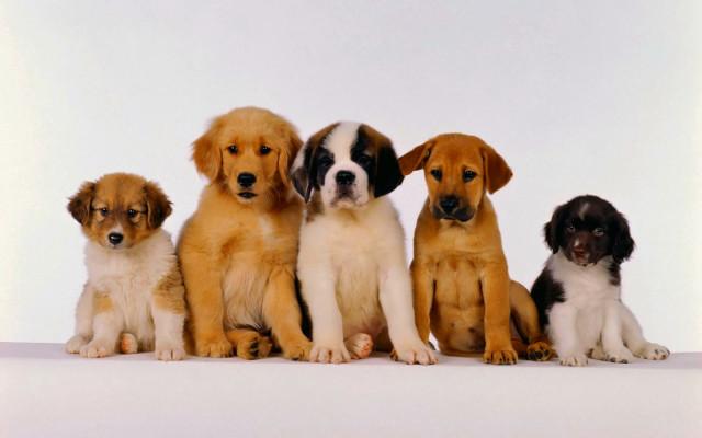 Bộ hình nền những chú chó đáng yêu cho máy tính 12