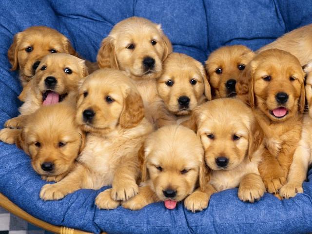 Bộ hình nền những chú chó đáng yêu cho máy tính 25