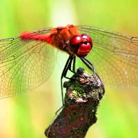 Hóa thạch 530 triệu năm tuổi có mắt như ong, chuồn chuồn ngày nay