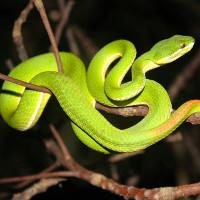 Nghiên cứu cảnh báo bệnh nấm rắn có thể là một mối đe dọa toàn cầu