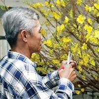 Hướng dẫn chăm sóc cây mai sau Tết