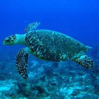 Máy bay không người lái giúp các nhà khoa học giám sát các loài rùa biển nguy cấp
