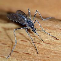 Các nhà khoa học sắp dạy muỗi không hút máu người