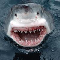 Răng cá mập cổ đại mất tích tìm thấy ở Úc