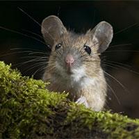 Bộ hình nền những chú chuột dễ thương, đáng yêu và đẹp nhất