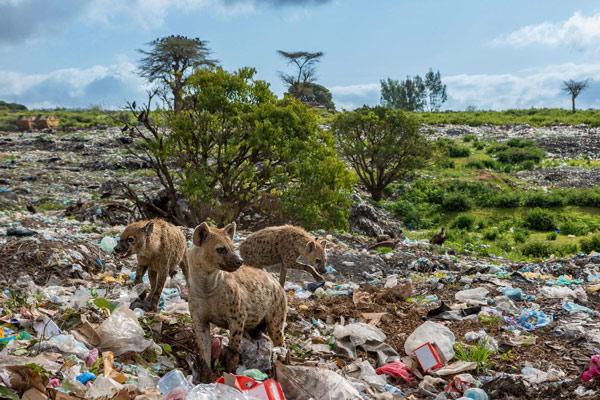Những con linh cẩu đang phải kiếm ăn trên bãi rác Harar, ở Ethiopia