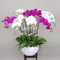 Cách chăm sóc Lan Hồ Điệp sau tết để cây tiếp tục ra hoa