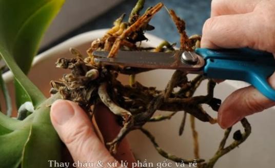 Dùng kéo sạch cắt bỏ những rễ bị thối