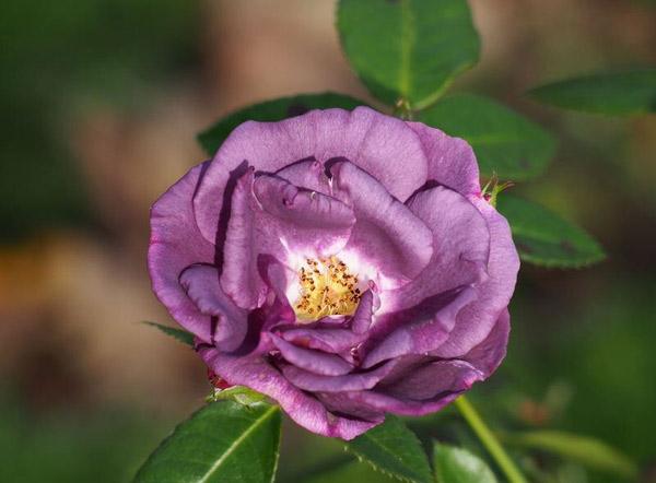 Hoa hồng Rhapsody