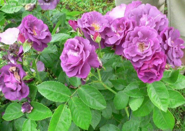 Hoa hồng Rhapsody 1