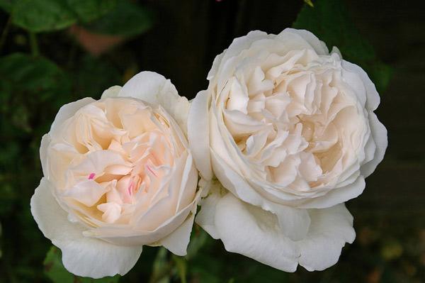 Hoa hồng Winchester Cathedral