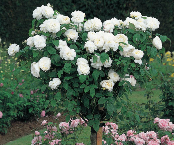 Hoa hồng Winchester Cathedral 3