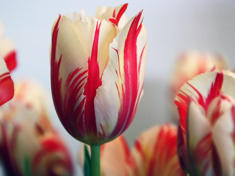Hoa Tulip thế kỷ 17