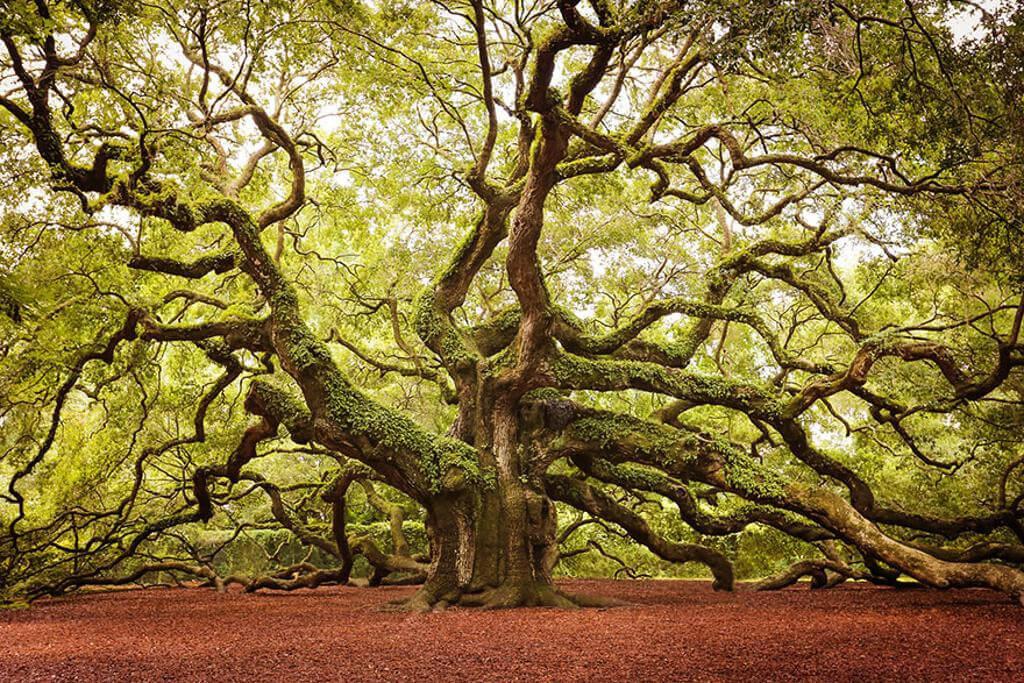 Cây sồi Thiên thần nằm trên hòn đảo John, bang South Carolina, Mỹ