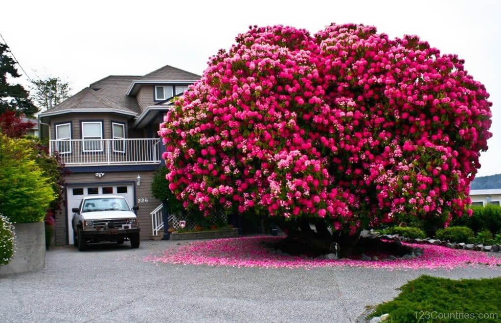 Cây đỗ quyên hơn 125 tuổi ở British Columbia, Canada