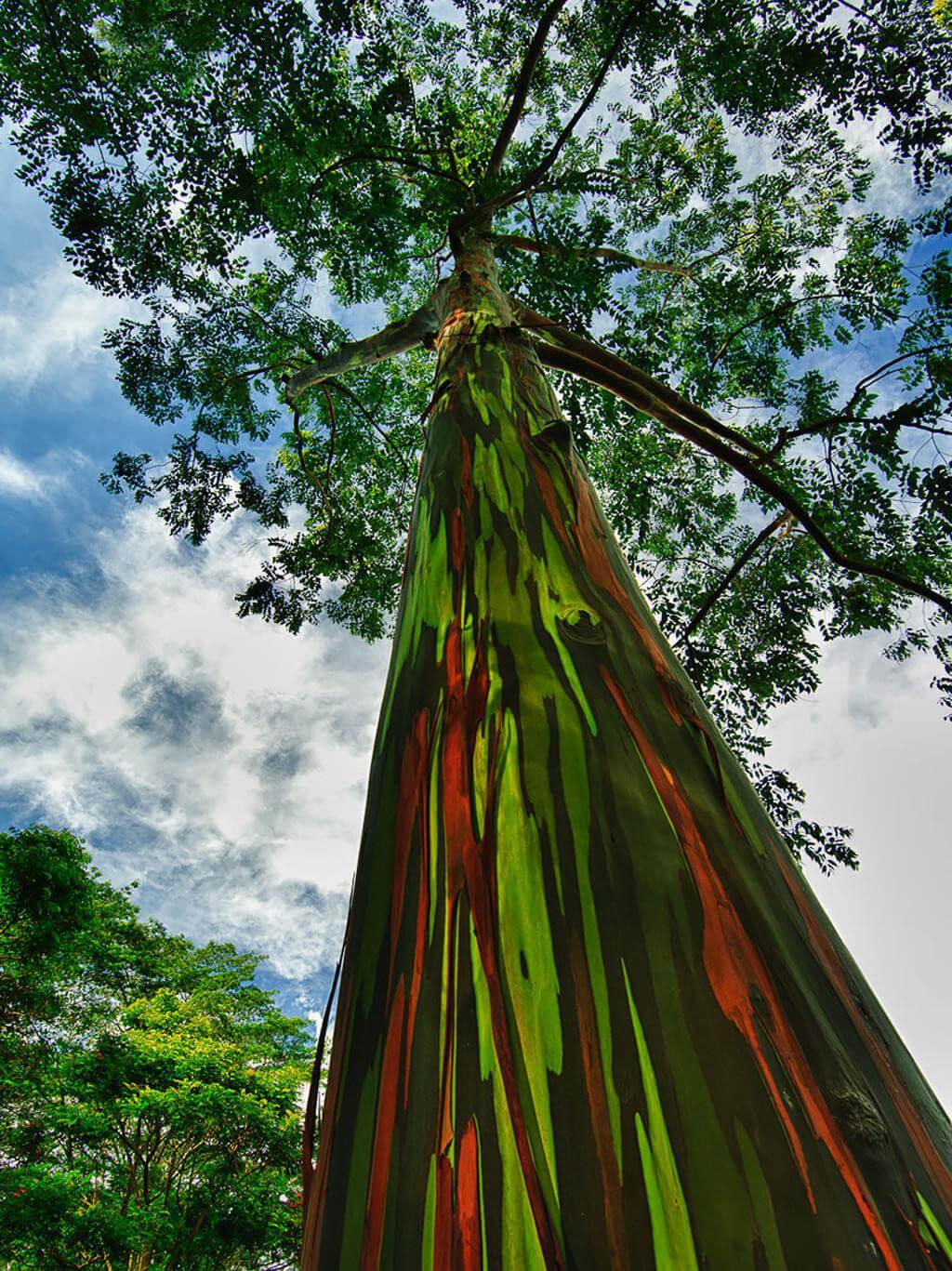 Cây bạch đàn cầu vồng trên hòn đảo Kauai, thuộc quần đảo Hawaii, Mỹ