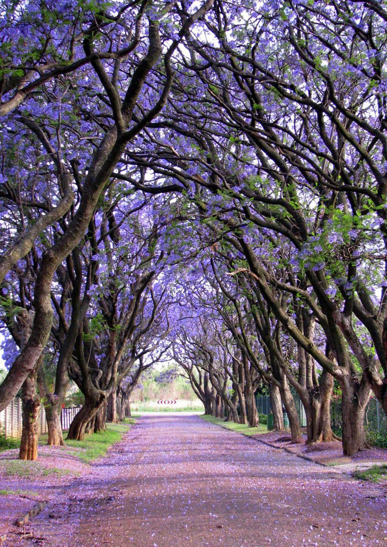 Cây phượng tím (Jacaranda) ở Cullinan, Nam Phi