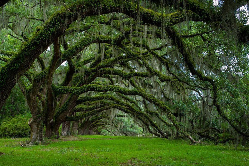 Đại lộ cây sồi già ở Nam Carolina, Mỹ