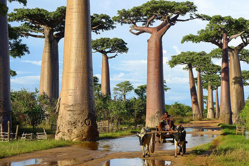 Cây bao báp ở Madagascar